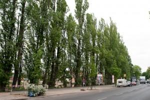 Über die Zukunft der Pappeln entscheiden die Planer aufgrund eines Baumgutachtens